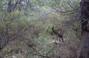 Roo in John Forrest NP